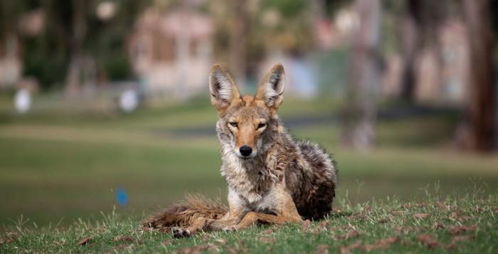 Researchers Study Atlanta Coyote Population