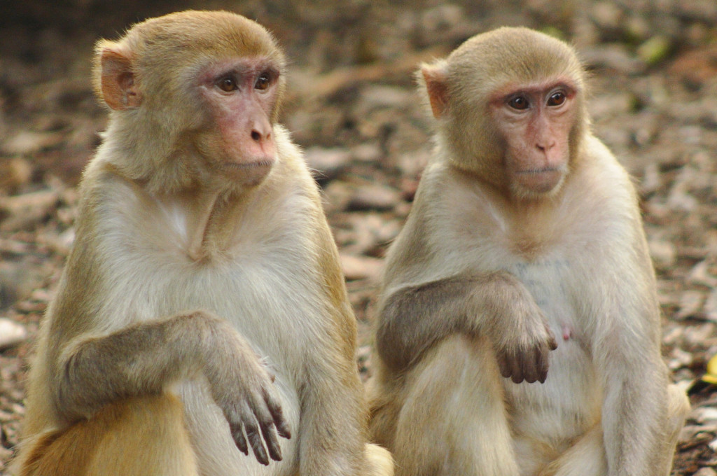 Yerkes Under Federal Investigation for Primate Deaths