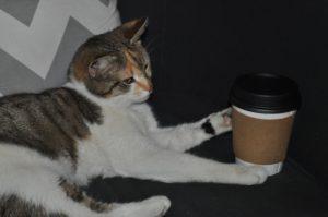 A cat at Java Cats Cafe sits on customer-designated furniture. Courtesy of Tanushree Khanna