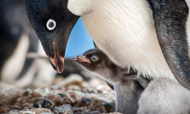 'Penguins' a Heartwarming Tale in a Subzero World